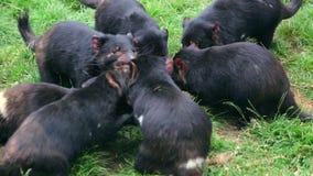 Tasmanian Devils hunting stock footage