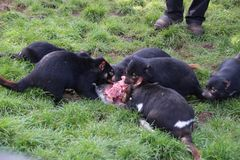 Tasmanian Devils Eating with Family Members. Tasmanian devils are the largest carnivorous meat-eating marsupials in the world. Like all marsupials, Tasmanian stock photos