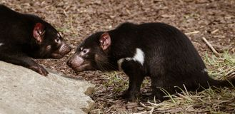 Tasmanian devils. A pair of Tasmanian devils on dry grass and rock stock photography