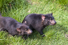 Tasmanian Devils prowling. The Tasmanian Devil is a carnivorous marsupial now found in the wild only in the Australian island state of Tasmania. The size of a royalty free stock photo