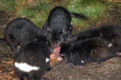 Tasmanian Devils, Tasmania, Australia. Tasmanian Devils feeding on a wallaby carcass, Tasmania, Australia stock photos