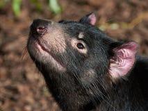 Tasmanian diabeł Sarcopilus Harrisii fotografia royalty free