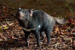 Tasmanian diabeł Sarcopilus Harrisii obraz royalty free