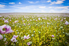 Tasmanian flowers. Beautiful field of pink Tasmanian poppy flowers Stock Images