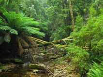 Tasmanian Forest. On the way to Nelson Falls in Tasmania stock images