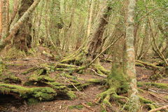 Tasmanian Forest Royalty Free Stock Images