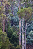 Tasmanian forest trees. Eucalyptus and acacia trees in Australian forest stock images