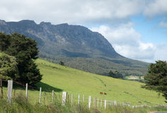 Tasmanian green pastures. Green pastures of central Tasmania with grazing cows Stock Images