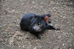 tasmanian jäkel Arkivbild