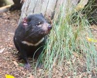 Tasmanian jäkel, Featherdale djurliv parkerar, NSW, Australien royaltyfria bilder