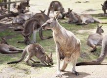 Tasmanian kängurufamilj Fotografering för Bildbyråer