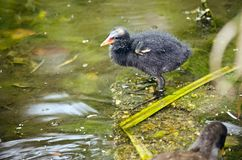 Tasmanian moorhen chick Stock Photos