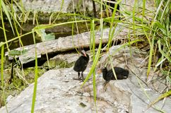 Tasmanian moorhen chicks Stock Photo