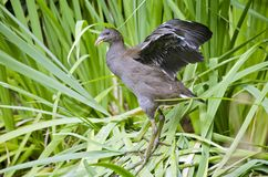 Tasmanian moorhen Royalty Free Stock Photo