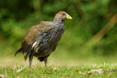 Tasmanian nativehen - Tribonyx mortierii - flightless rail and one of twelve species of birds endemic to the Australian island of. Tasmania, Australia Stock Photography