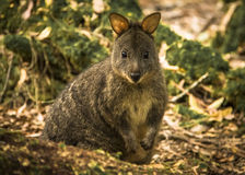 Tasmanian Pademelon Royalty Free Stock Photo