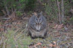 Tasmanian pademelon looking at camera royalty free stock photography