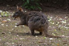 Tasmanian Pademelon in Tasmania. Pademelon in Tasmania, like small-size kangaroo, abundant number in Tasmania, living in thick scrubland stock image