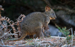 Tasmanian Pademelon. The Tasmanian Pademelon (Thylogale billardierii) is a small marsupial related to kangaroos and wallabies, but is smaller than both. This Royalty Free Stock Photos