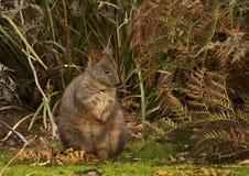 Tasmanian pademelon wallaby marsupial feeding royalty free stock photos