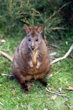 Tasmanian Pademelon in the wild Royalty Free Stock Photos
