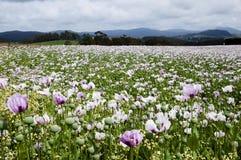 Tasmanian poppy field Royalty Free Stock Photography