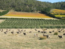 Tasmanian sheep royalty free stock photography