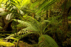 Tasmanian Tarkine Rainforest Royalty Free Stock Photography