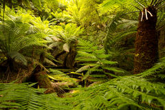 Tasmanian Tarkine Rainforest Royalty Free Stock Photos