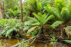 Tasmanian temperate rainforest and river. Hastings cave nature reserve temperate rainforest and river stock image