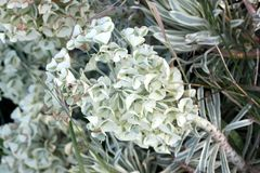 Tasmanian Tiger Spurge, Euphorbia characias `Tasmanian Tiger`. Evergreen subshrub with linear grey green leaves with white margin, and terminal broad head of stock photo