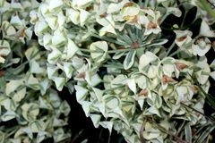 Tasmanian Tiger Spurge, Euphorbia characias `Tasmanian Tiger`. Evergreen subshrub with linear grey green leaves with white margin, and terminal broad head of stock photos