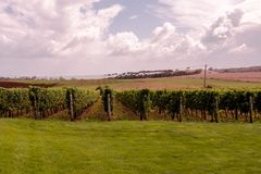 A Tasmanian Vineyard in Summer. A Rows of grapes in a Tasmanian vineyard waiting for harvest royalty free stock images