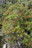 Tasmanian Waratah bush, Telopea truncata Royalty Free Stock Photography