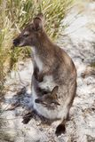 Tasmanian Wildlife Royalty Free Stock Photo