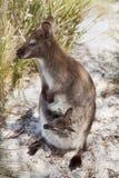 Tasmanian Wildlife royalty free stock photo