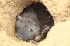 Tasmanian wombat. Lying in the hoie stock photography