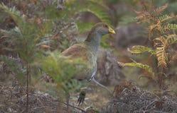 Tasmanische Gebürtig-Henne im Farnunterholz lizenzfreies stockbild