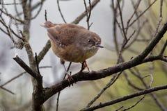 Tasmanische humilis Scrubwren - Sericornis Vogelspezies endemisch zu den mäßigen Wäldern von Tasmanien und von nahe gelegenem Kön stockbild