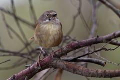 Tasmanische humilis Scrubwren - Sericornis Vogelspezies endemisch zu den mäßigen Wäldern von Tasmanien und von nahe gelegenem Kön lizenzfreies stockfoto