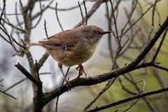 Tasmanische humilis Scrubwren - Sericornis Vogelspezies endemisch zu den mäßigen Wäldern von Tasmanien und von nahe gelegenem Kön lizenzfreies stockbild