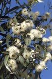 Tasmanischer blauer Gummi Lizenzfreie Stockfotografie