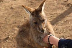 Tasmanischer Känguru, der Hand hält stockfotografie