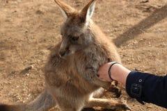 Tasmanischer Känguru, der Hand am Schongebiet hält stockfotografie