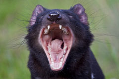 Tasmanischer Teufel Lizenzfreies Stockfoto