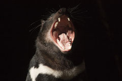 Tasmanischer Teufel Stockfotografie