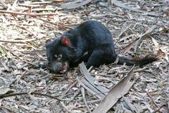 Tasmanischer Teufel Lizenzfreie Stockfotos
