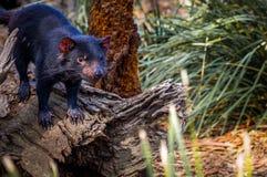 Tasmanischer Teufel auf Baumstumpf lizenzfreies stockbild