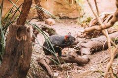 Tasmanischer Teufel, der in das wilde läuft lizenzfreie stockbilder