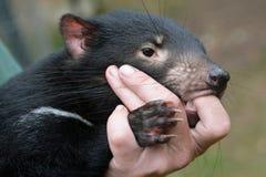 Tasmanischer Teufel gehalten vom Wächter, geschützt, getröstet stockbilder